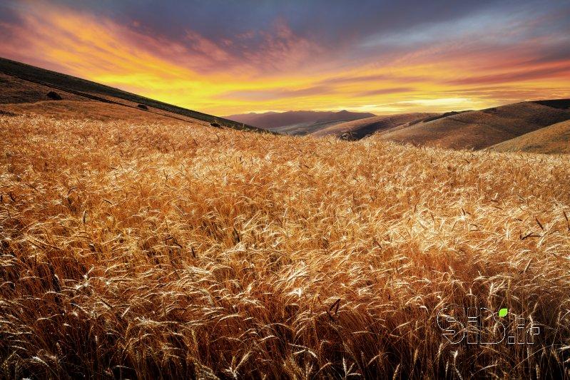 گندمزار