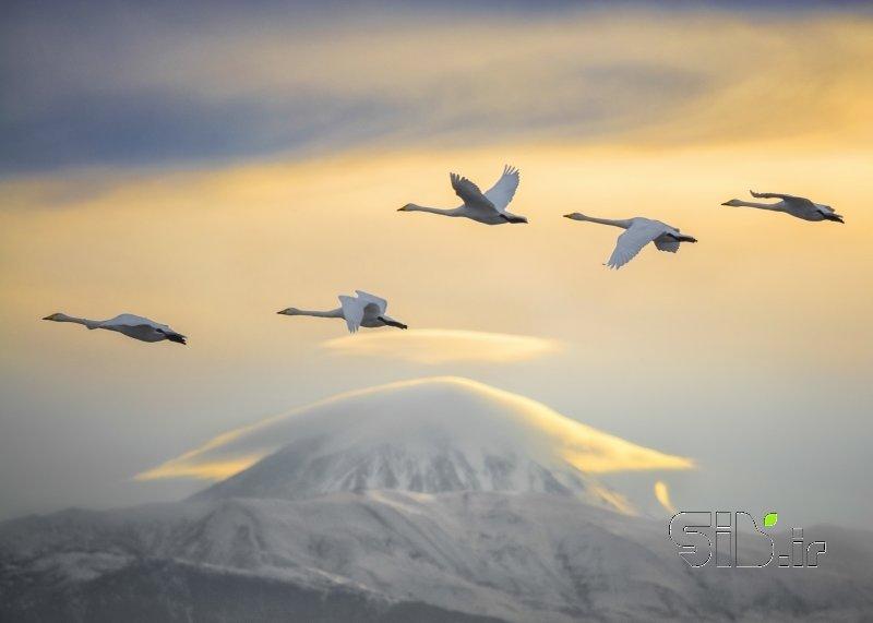 Swans and Damavand Peak