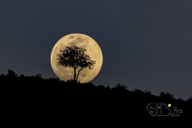 درخت ماه