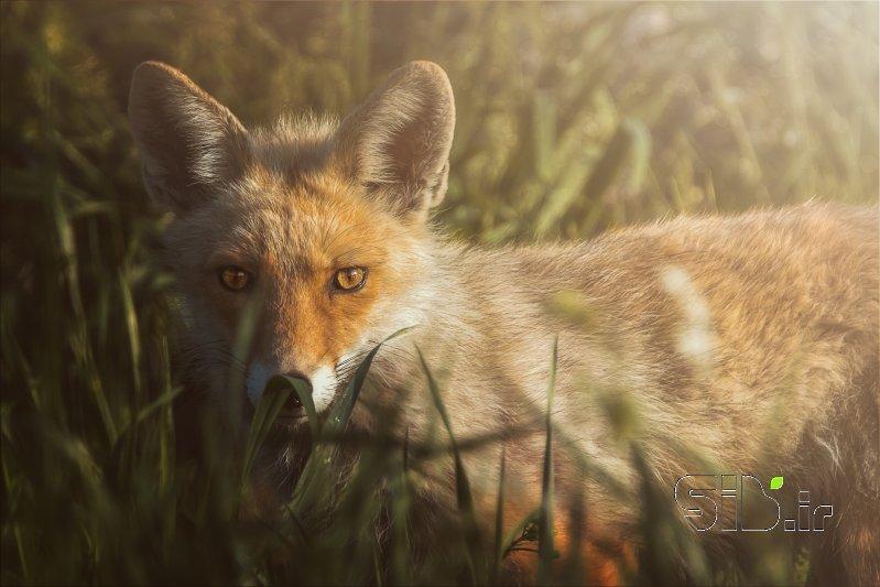 آقای روباه شگفت انگیز