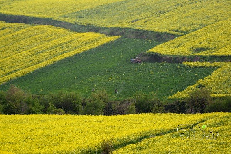 مزرعه کلزا - 2