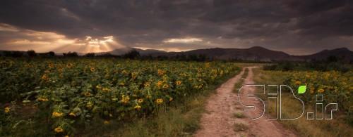 جاده ای در مزرعه آفتابگردان
