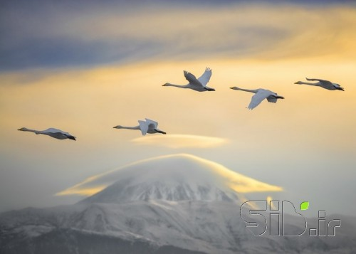 Swans and Damavand Peak