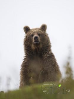 خرس قهوه ای