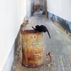 گربه سیا