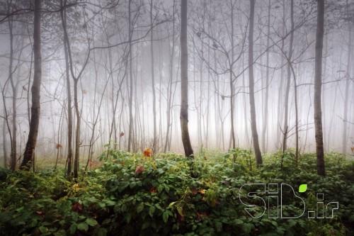 جنگل در مه