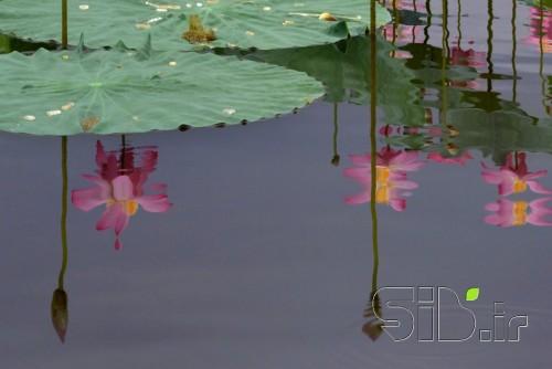 گل نیلوفر 1