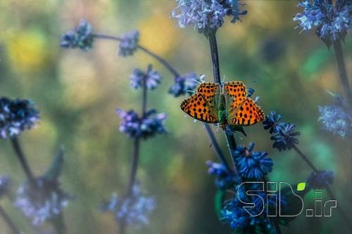پروانه بودن...