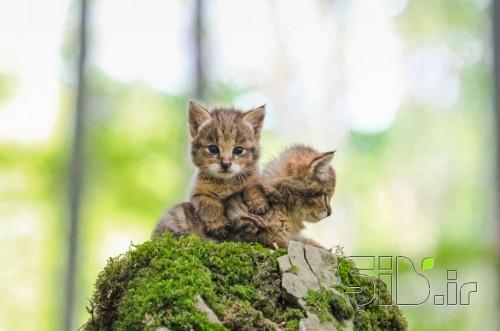 گربه جنگلی