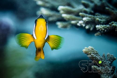 دلقک  ماهی