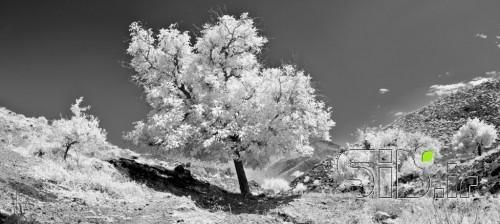 درخت سفید