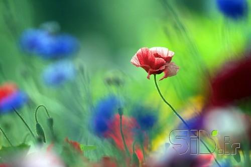 گل قرمز