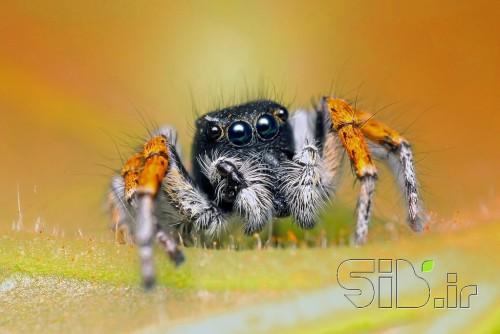 عنکبوت جهنده