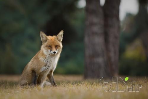 روباه سرخ