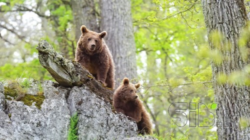خرس و توله