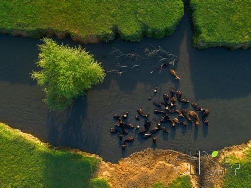 گاومیشها در آب