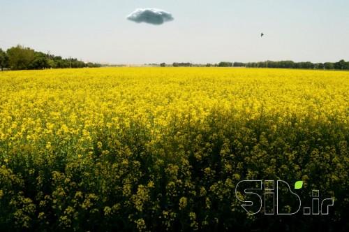 زرد بهاری