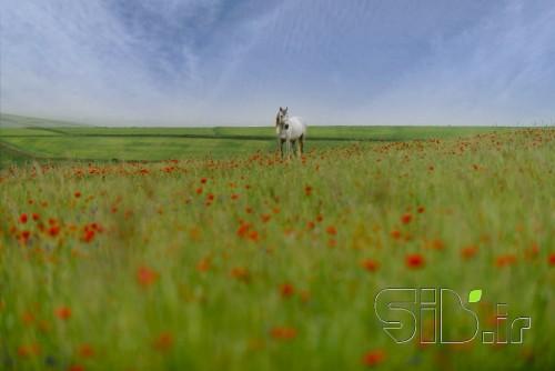 اسب سفیدِ نقره نعل